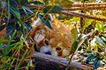 Red Panda at Pt. G.B. Pant High Altitude Zoo, Nainital.jpg