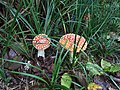 Red and White Spotted Mushrooms - panoramio.jpg