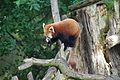 Red panda at Chester Zoo 3.jpg