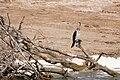 Reed cormorant - Queen Elizabeth National Park, Uganda (2).jpg