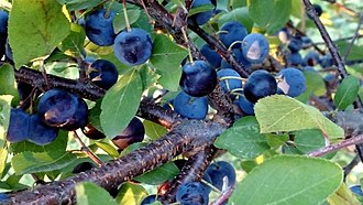 Prunus maritima - Image: Resigno Beach Plum