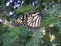 Resting Monarch - panoramio.jpg