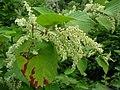 Reynoutria japonica fruit (24).jpg