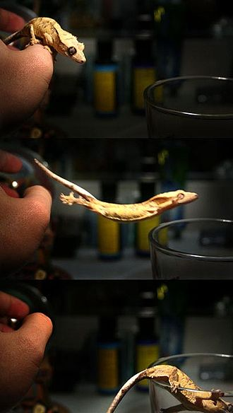 Crested gecko - Jumping crested gecko
