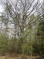 Rheinbreitbach Einzelbaum.jpg
