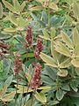 Rhododendron pachysanthum & Heuchera Brownfinch (5733975802).jpg