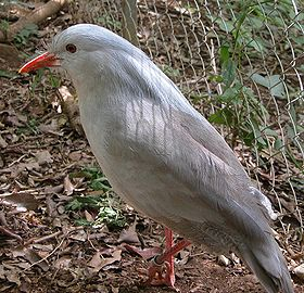 Bird (Kagu) with pale grey plumage (lighter on underside), straight red bill and red legs