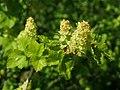 Ribes alpinum 2019-04-16 0509.jpg