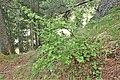 Ribes alpinum kz01.jpg