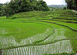 Rice fields Chiang Mai