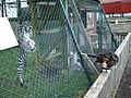 Ring-tailed lemurs investigate moggy! (201850305).jpg