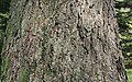 River Birch Betula nigra Combined.JPG