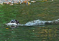 River otter with fish, Park Ave San Anselmo Creek Charles Kennard cropped.jpg