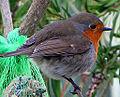 Robin (5512064756).jpg