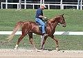 Rocky Mountain Horse (7998165022).jpg