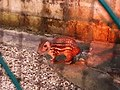 Rodentia - Cuniculus paca - 2.jpg