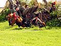 Roosters01.jpg