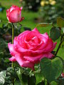 Rosa 'Esmeralda' 01.JPG