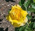 Rosa 'Heart of Gold' in Dunedin Botanic Garden.jpg