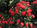 Rosa 'Planten un Blomen' 05.JPG