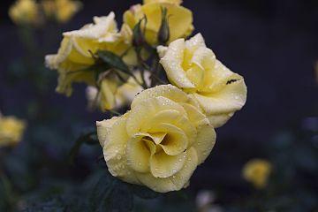 Rosa Bright Smile (7376470212).jpg