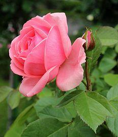 Rosa Johann Strauss.jpg