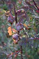 Rosa glauca gall (01).jpg