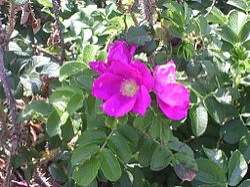 Rosa rugosa Yarmouthport flower-2.jpg
