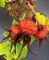 Rosa rugosa fruit (20).jpg