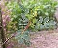 Rosa spinosissima inflorescence (73).jpg