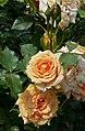 Rosarium Baden Rosa 'Bentheimer Gold' Kordes 2015 03.jpg
