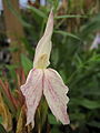 Roscoea x beesiana Striped 090816.jpg