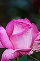 Rose, Esmeralda - Flickr - nekonomania.jpg