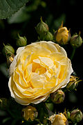 Rose, Golden Border - Flickr - nekonomania (5).jpg
