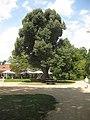 Rosengarten Forst, Silber-Linde vor dem Restaurant, Sommer, 01.jpg