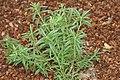 Rosmarinus officinalis 9zz.jpg
