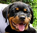 Rottweiler puppy face.jpg