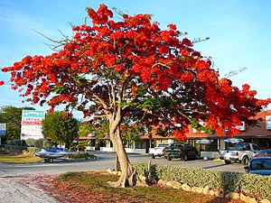 Geography of Florida - Royal Poinciana tree in full bloom in the Florida Keys, an indication of South Florida's tropical climate