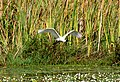 Royal spoonbill - panoramio.jpg