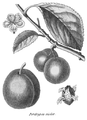 Rozier - Cours d'agriculture, tome 8, pl. 28, perdrigon violet.png