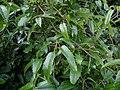 Rubus cissoides 11.JPG