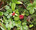 Rubus pedatus.JPG