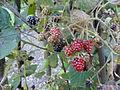 Rubus pedemontanus - Botanischer Garten, Frankfurt am Main - DSC02494.JPG
