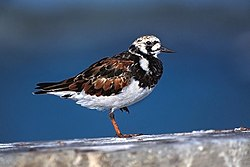 Ruddy Turnstone on the Beach of Sanibel.jpg