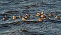 Ruddy ducks (64822).jpg