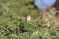 Rufous-collared Sparrow (Zonotrichia capensis) (8077667579).jpg