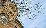 Ruhland, Dresdener Str. 9, Einheits-Hainbuche, Zweig mit Blattknospe und Blütenstand, Frühling, 04.jpg