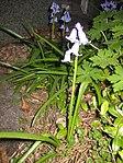 Ruhland, Grenzstr. 3, Spanisches Hasenglöckchen, blau blühend, Frühling, 02.jpg