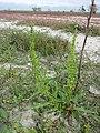 Rumex stenophyllus sl1.jpg