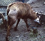 Rupicapra rupicapra in Mount Gozaisho zoo 1997-04-20.jpg